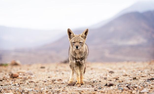 Renard latin zorro chilla lycalopex griseus marchant à la recherche de nourriture