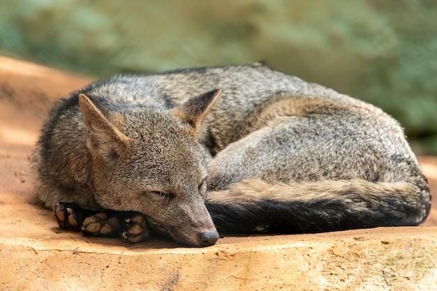 Le renard mangeur de crabe (cerdocyon mille), également connu sous le nom de renard forestier, renard des bois, chien de brousse ou maikong