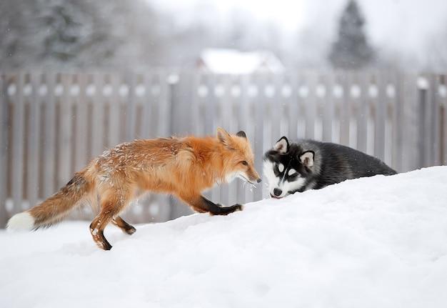 Un renard roux et un chien dans la neige