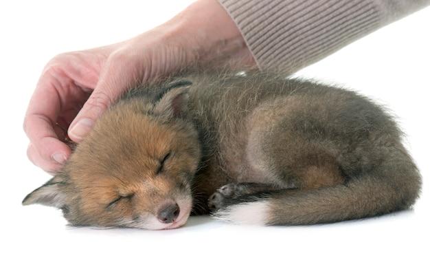 Renard roux endormi
