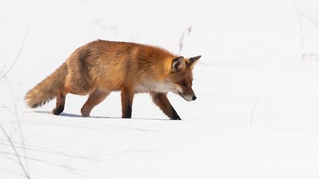 Renard roux touffu marchant sur la neige dans la nature hivernale