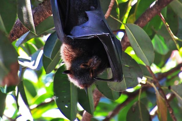 Renard volant sur un arbre dans la ville de cairns, queensland, australie