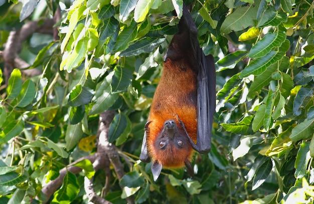 Renard volant de lyle pteropus lylei bat dormir sur l'arbre