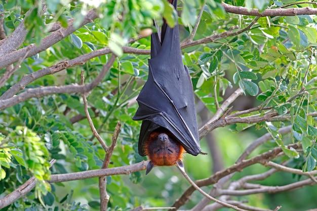 Renard volant de lyle pteropus lylei bat sleeping