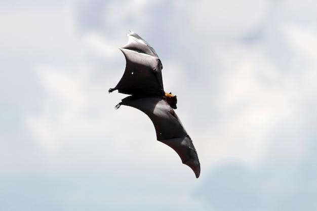 Renard volant de lyle pteropus lylei silhouette dans le ciel