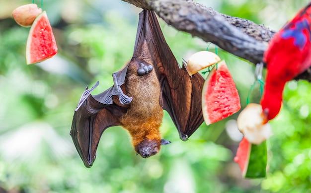 Renard volant pteropus alecto suspendu à un arbre dans un zoo