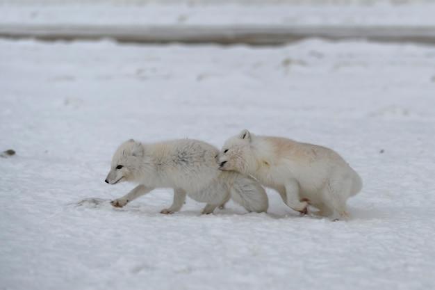 Renards arctiques sauvages combattant dans la toundra en hiver. renard arctique blanc agressif.