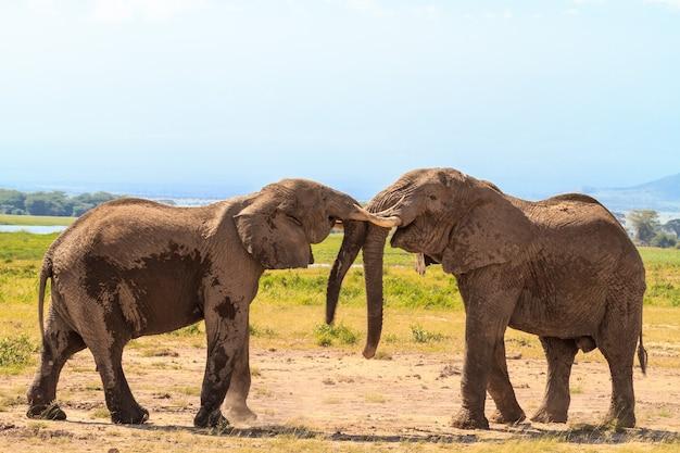 Rencontre de grands éléphants. amboseli, kenya