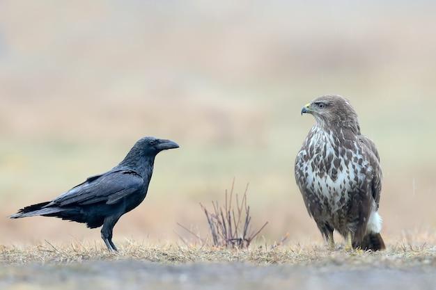 Rencontre insolite d'une buse et d'un corbeau au sol