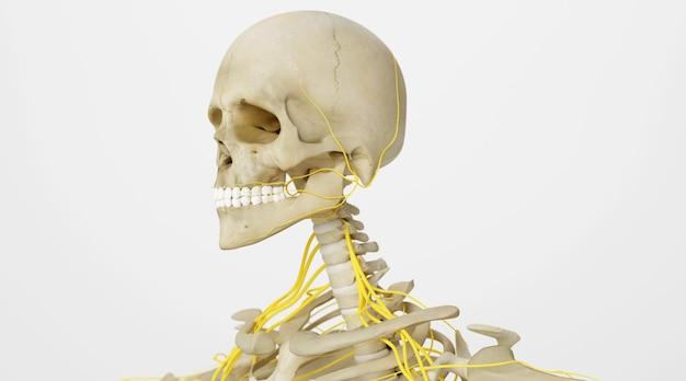 Rendu cinéma 4d d'impulsion sur le cou humain isolé sur fond blanc