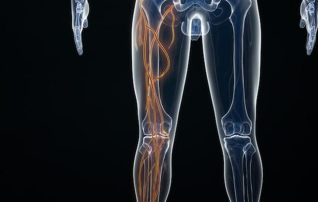 Rendu cinéma 4d de la structure artérielle de la jambe humaine
