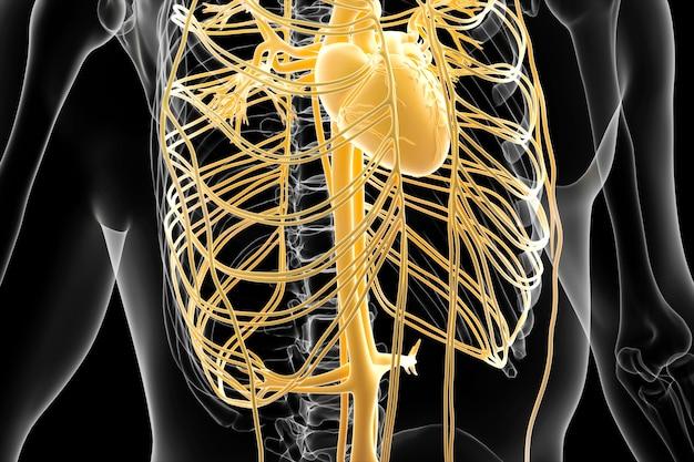 Rendu cinéma 4d de la structure du système artériel humain