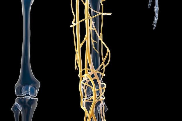 Rendu cinéma 4d de la structure des vaisseaux sanguins humains