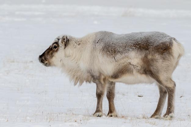 Renne du svalbard sauvage, rangifer tarandus platyrhynchus, debout dans la neige