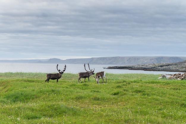 Les rennes paissent sur la côte de la mer de barents, péninsule de varanger, finnmark, norvège