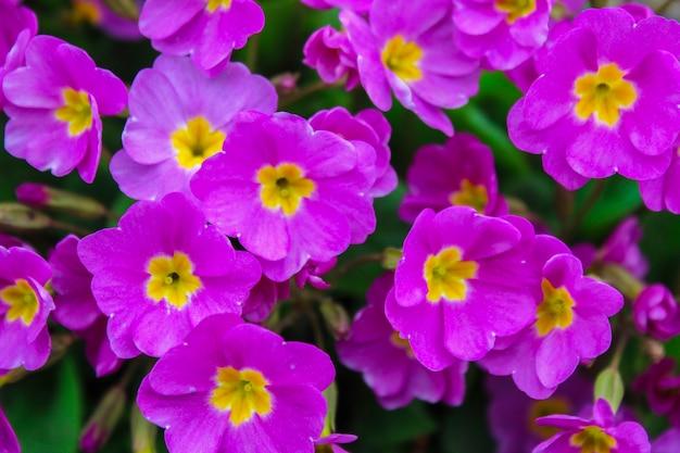 Renoncules pourpres sur un parterre de fleurs en arrière-plan
