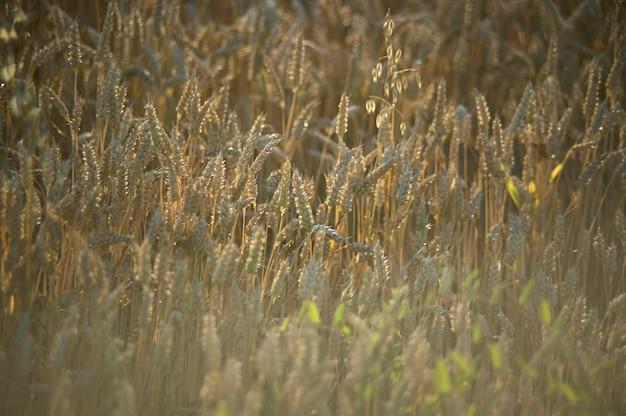 Reprise au coucher du soleil d'une récolte de céréales en italie, les céréales sont maintenant prêtes pour la récolte.