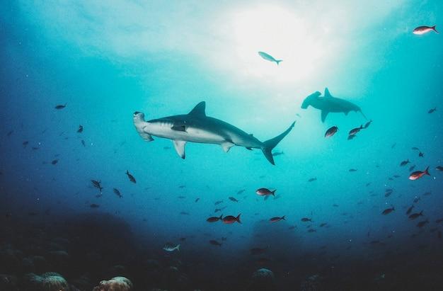 Requin-marteau (sphyrnidae) nageant dans les sous-marins tropicaux. requin marteau dans le monde sous-marin. observation de la faune océanique. aventure de plongée sous-marine sur la côte équatorienne des galapagos