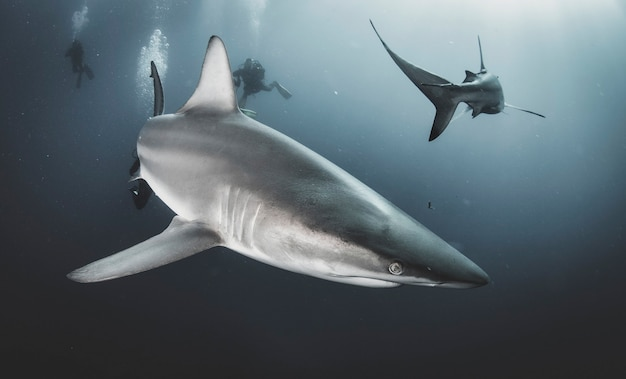 Requin océanique à pointes noires nageant dans les sous-marins tropicaux. requins dans le monde sous-marin. observation du monde animal. aventure de plongée sous-marine sur la côte sud-africaine de rsa