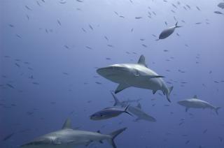 Requins 1