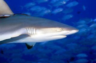 Les requins ne fait pas peur