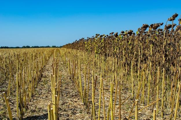 Résidus de tournesol post-récolte sur le terrain contre le ciel.