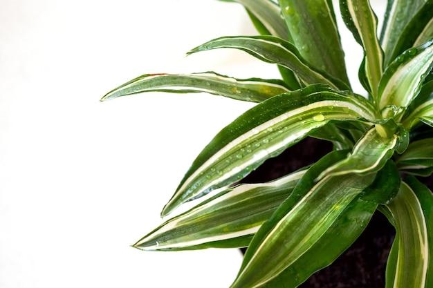 Restez à la maison et bannière de jardinage. gros plan de fleurs vertes et fraîches de dracaena malaika avec des gouttes d'eau. concept d'intérieur de jungle urbaine. fond blanc, copiez l'espace.