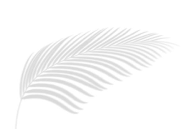 Résumé des feuilles de palmier ombre sur fond de mur blanc. espace de copie vierge.