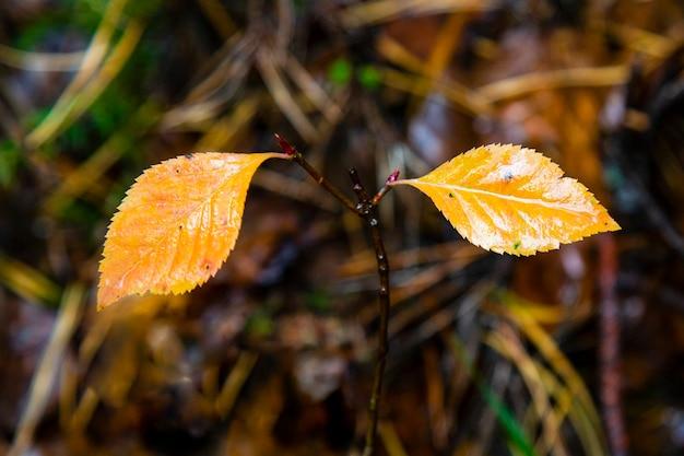 Résumé historique des feuilles d'automne. fond d'automne. le flétrissement de la nature en forêt, le changement des saisons