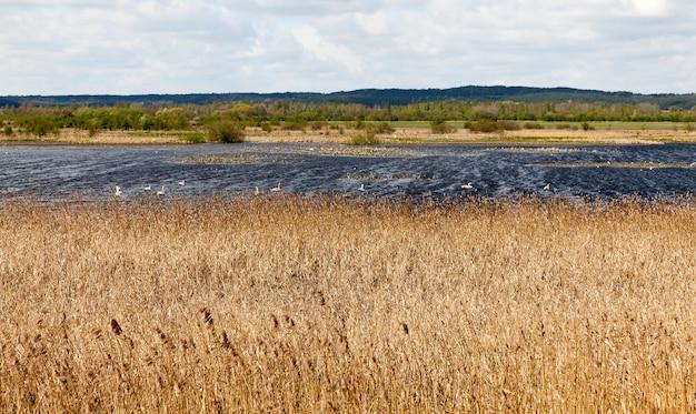 Retour au lac des oiseaux migrateurs après victoire, cygnes et autres oiseaux sur le lac