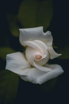 Retrato de una rosa blanca con el fondo desenfocado