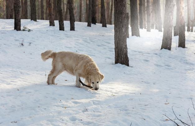Retriever de chien dans la forêt d'hiver