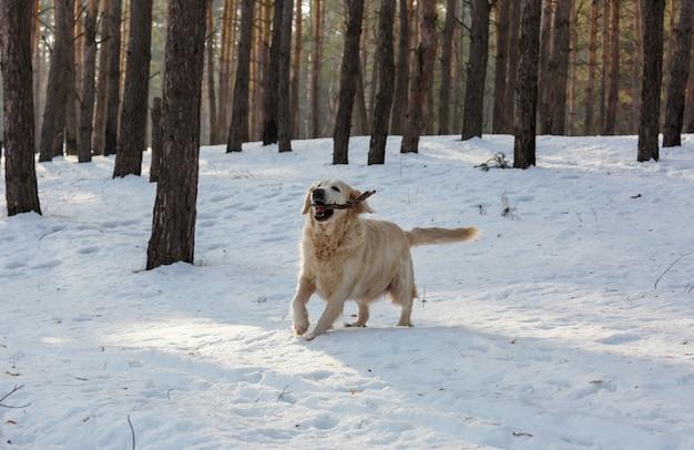 Retriever dans la forêt d'hiver