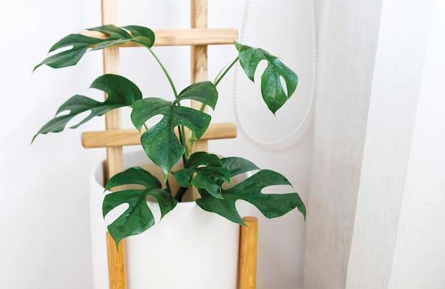 Rhaphidophora tetrasperma ou mini monstera ginny philodendron en pot en céramique blanche à la fenêtre
