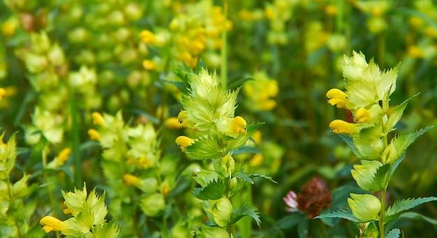 Rhinanthus angustifolius, hochet à feuilles étroites ou plus grand hochet jaune, fleur sauvage annuelle originaire des prairies tempérées dans une grande partie de l'europe et du nord et du centre de l'asie occidentale.