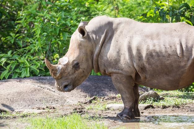 Rhino qui a été exposé au zoo