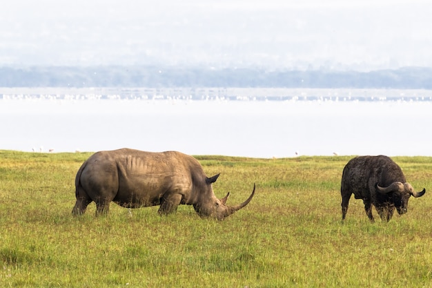 Rhino sur la rive du lac nakuru. kenya, afrique