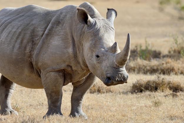 Rhino sur savane dans le parc national de l'afrique