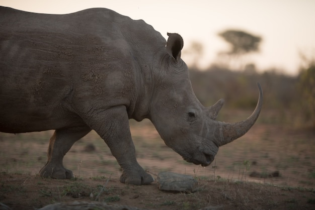 Rhinocéros africains marchant sur le terrain avec un arrière-plan flou