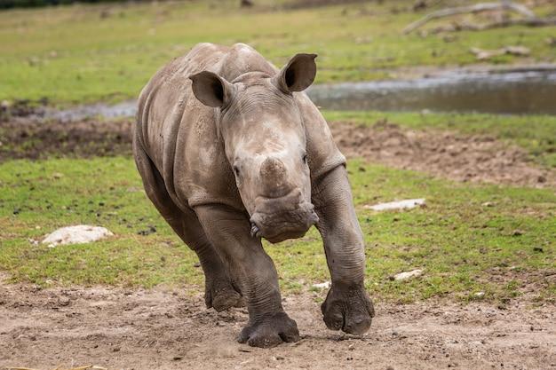 Rhinocéros bébé sauvage