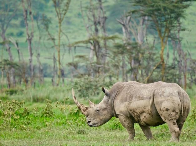 Rhinocéros blanc dans le lac nakuru
