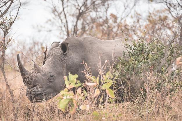 Rhinocéros blanc gros plan et portrait