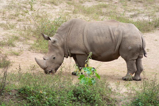 Rhinocéros blanc mangeant de l'herbe sur une terre sablonneuse