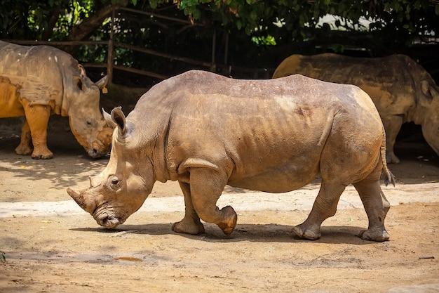 Un rhinocéros blanc qui marche