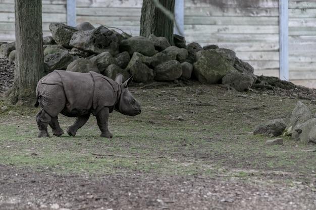 Rhinocéros blanc qui traverse un zoo entouré de clôtures en bois et de verdure