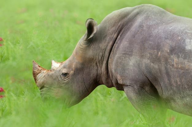 Rhinocéros blanc (rhinocéros) mange de l'herbe sur le pré.