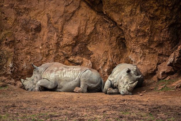 Le rhinocéros est n'importe quel mammifère de la famille des rhinocérotidés