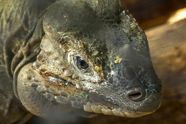 Rhinocéros iguane faune rare.