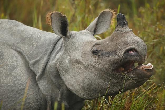 Rhinocéros indien en asie rhinocéros indien ou un rhinocéros à cornes unicornis avec de l'herbe verte