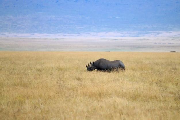 Rhinocéros noir sur le cratère de la zone de conservation du ngorongoro